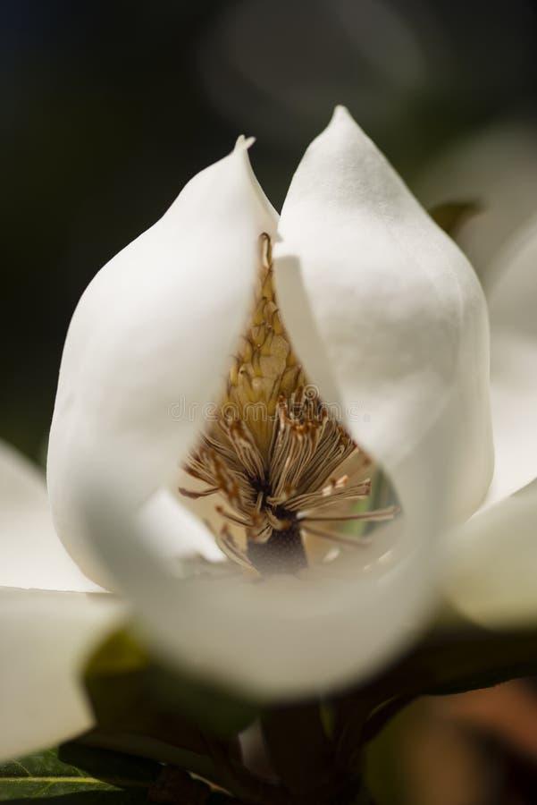 Detalle de la flor de la magnolia meridional imágenes de archivo libres de regalías