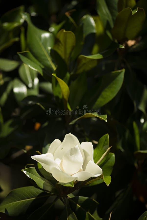 Detalle de la flor de la magnolia meridional imagenes de archivo