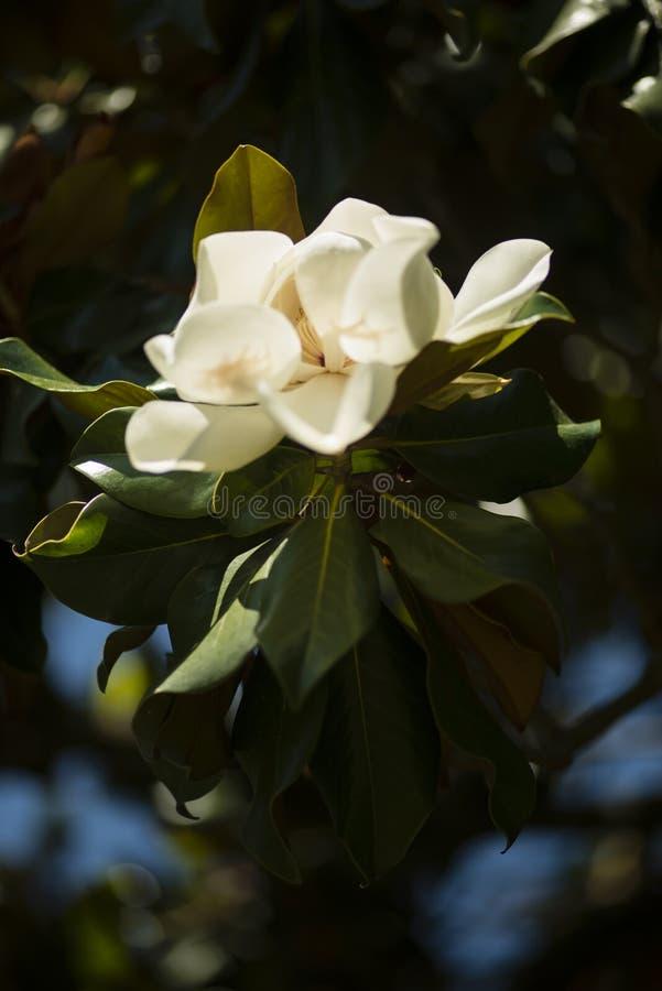 Detalle de la flor de la magnolia meridional fotos de archivo libres de regalías