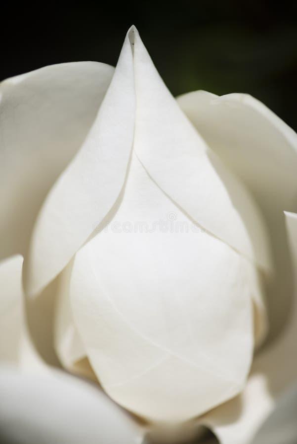 Detalle de la flor de la magnolia meridional foto de archivo