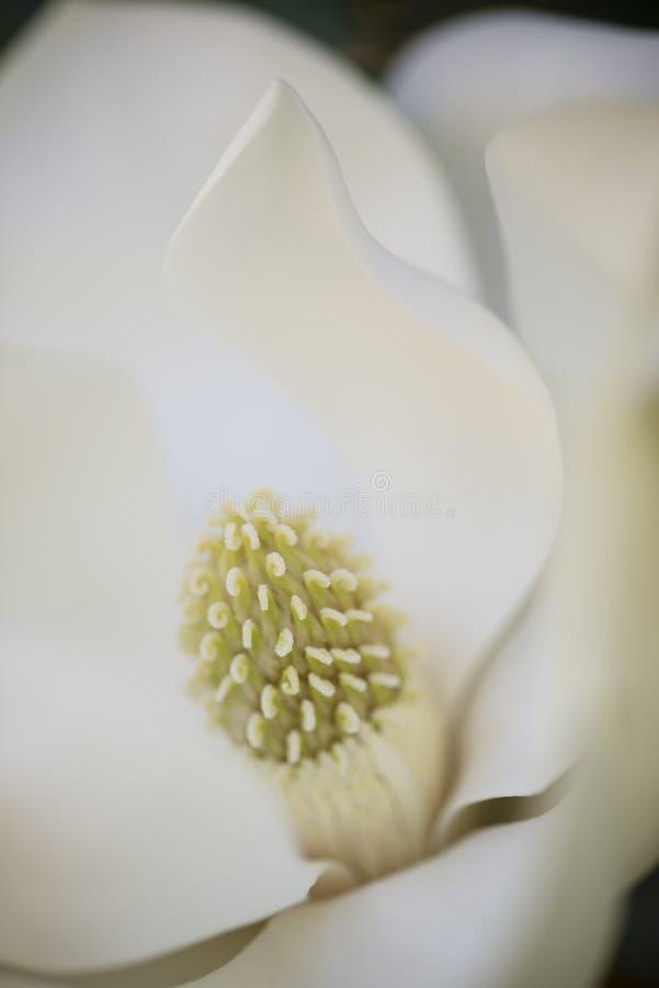 Detalle de la flor de la magnolia meridional imagen de archivo libre de regalías