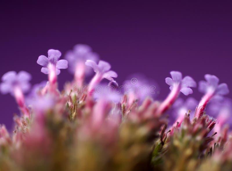 Detalle de la flor púrpura fotos de archivo