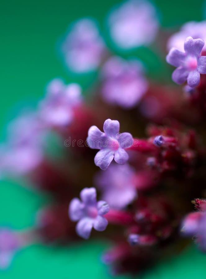 Detalle de la flor púrpura imagenes de archivo