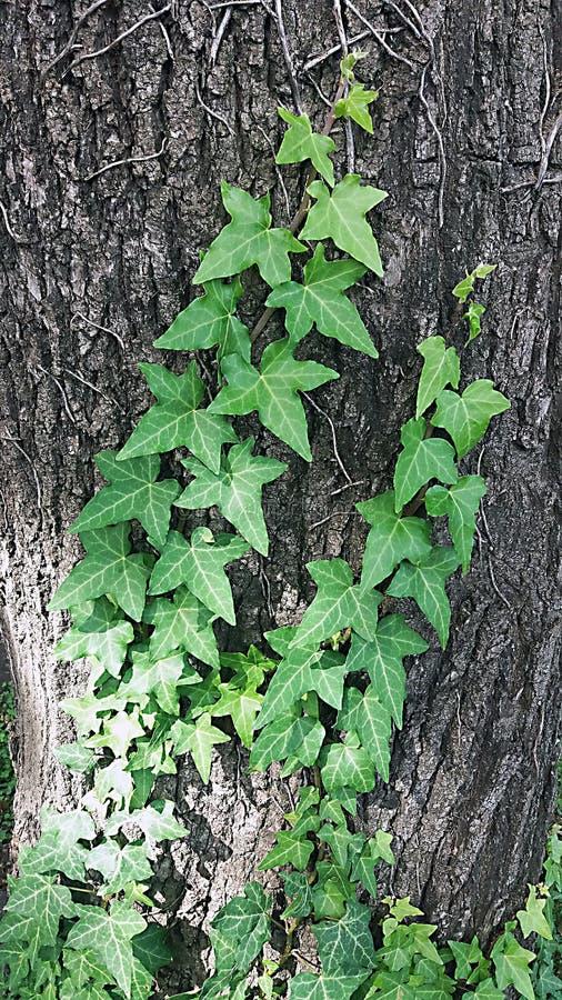 Detalle de la hiedra en el tronco Hojas del verde de la planta que sube en tronco de árbol fotos de archivo