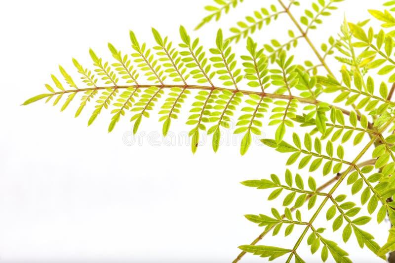 Detalle de la hoja de un bonsai de Mimosifolia del jacaranda aislado imagen de archivo libre de regalías