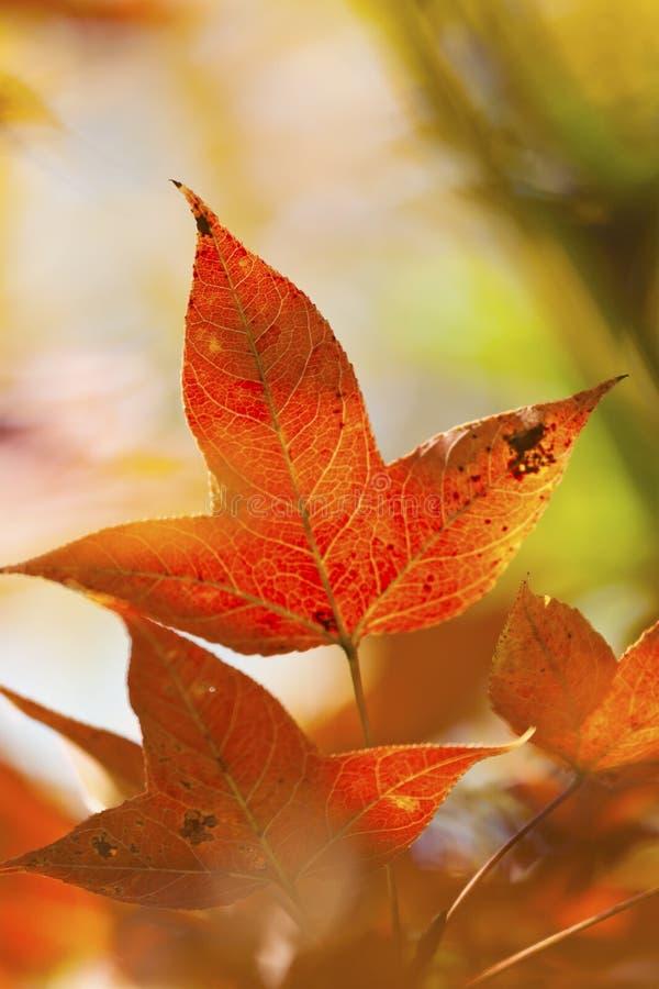 Detalle de la licencia del arce del otoño imagen de archivo