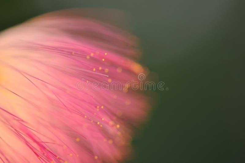 Detalle de la macro de la mimosa fotos de archivo