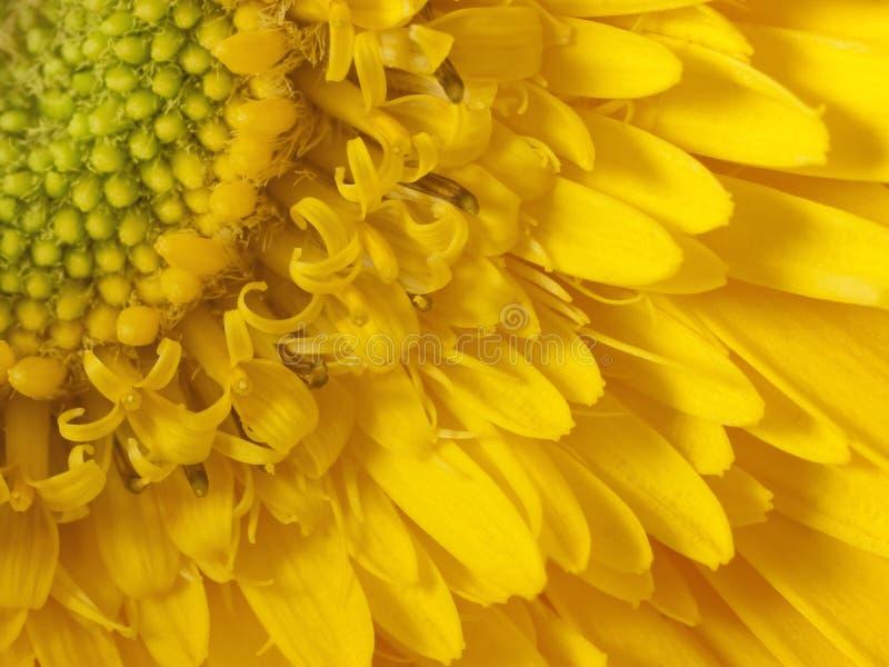 Detalle de la macro del girasol fotografía de archivo