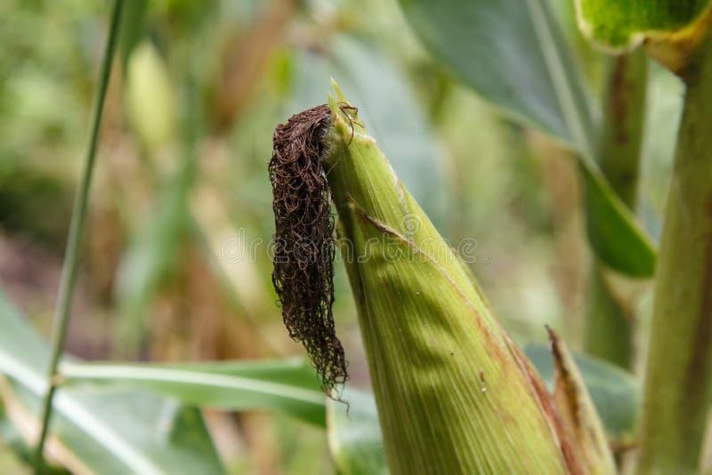 Detalle de la mazorca de maíz de la plantación imágenes de archivo libres de regalías