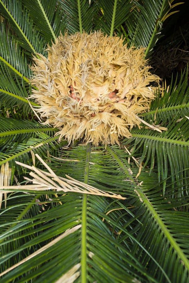 Detalle de la palma de sagú femenina del Cycas imagen de archivo libre de regalías