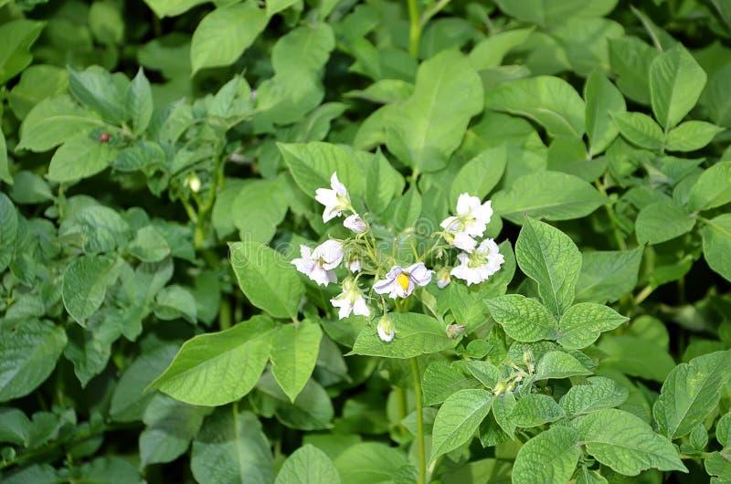 Detalle de la patata floreciente en el color de campo foto de archivo