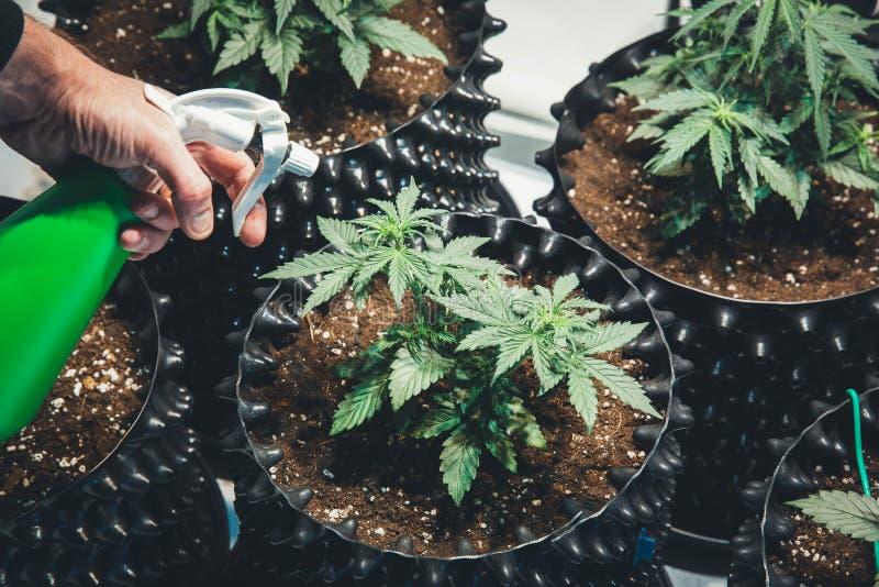Detalle de la planta de marijuana del cáñamo Médico fotos de archivo libres de regalías