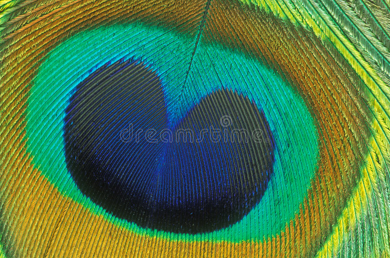 Detalle de la pluma del pavo real foto de archivo libre de regalías