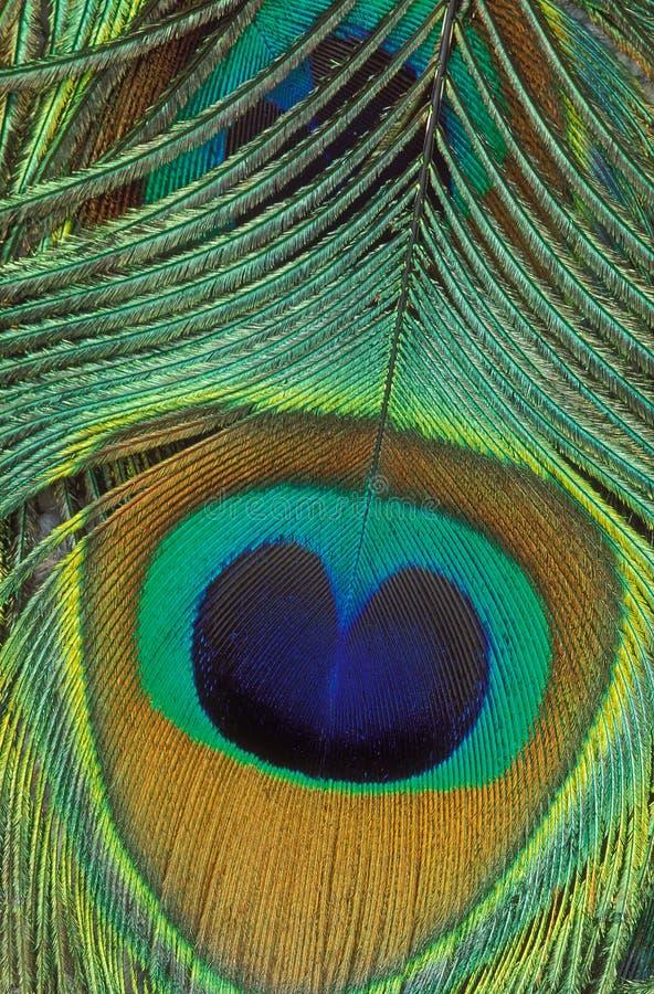 Detalle de la pluma del pavo real imagen de archivo