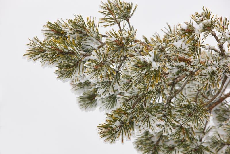 Detalle de la rama de árbol de pino en un día de invierno nevoso imagen de archivo