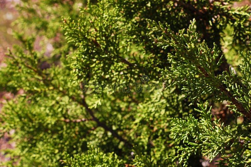 Detalle de la secoya gigante del giganteum del Sequoiadendron, secoya gigante, secoya de Sierra foto de archivo libre de regalías