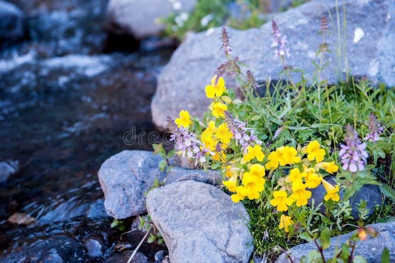 Detalle de la vida del desierto Desierto del volcán del negro del volcán de Antuco Flor y piedras florecientes cerca de la corrie fotos de archivo libres de regalías