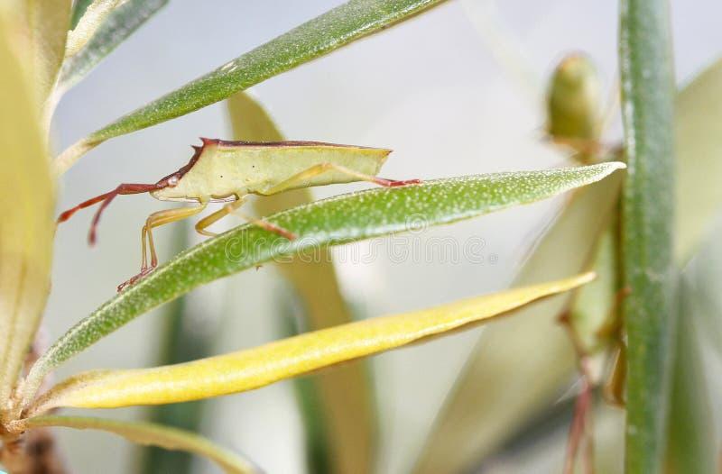 Detalle de la vista lateral de la especie del insidiator de Gonocerus foto de archivo libre de regalías