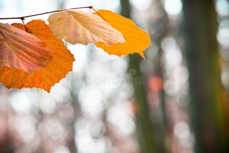 Detalle de las hojas de la naranja en el bosque foto de archivo libre de regalías