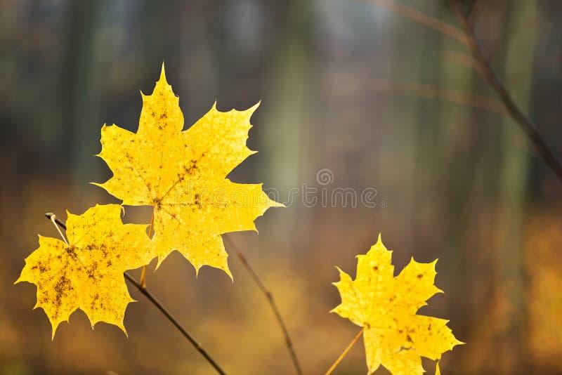 Detalle de las hojas de la naranja en el bosque imagen de archivo
