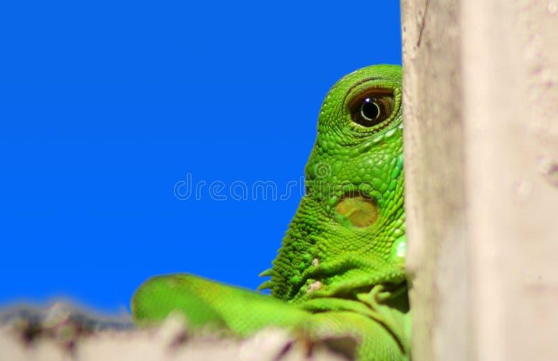 Detalle de las iguanas fotografía de archivo libre de regalías