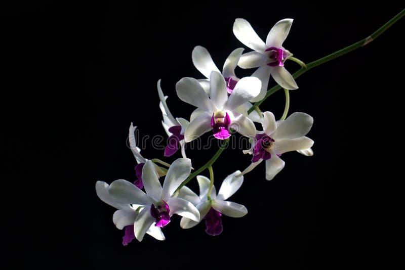 Detalle de las orquídeas púrpuras blancas Dendrodium con el fondo negro y la luz natural en los pétalos de la flor fotos de archivo
