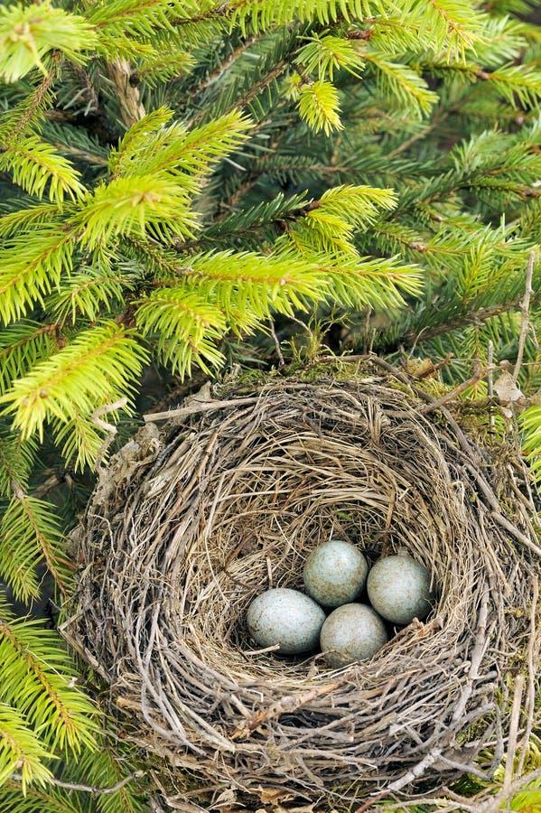 Detalle de los huevos del mirlo en jerarquía foto de archivo libre de regalías