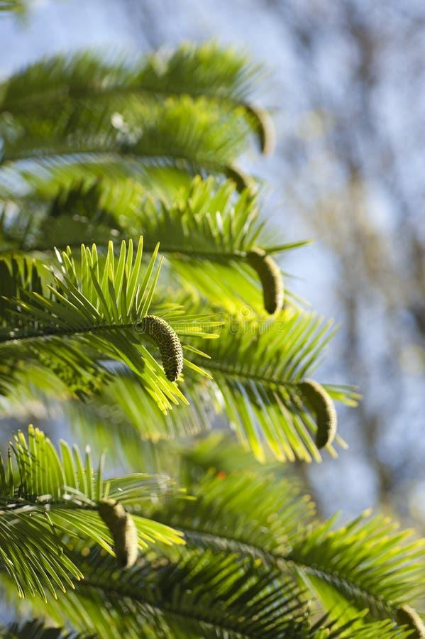 Detalle de los nobilis de Wollemia de hojas y de conos foto de archivo libre de regalías