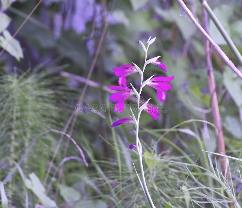 detalle de los palustris del gladiolo fotografía de archivo
