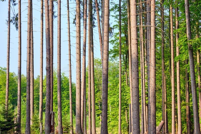 Detalle de los troncos de los árboles de la picea fotografía de archivo
