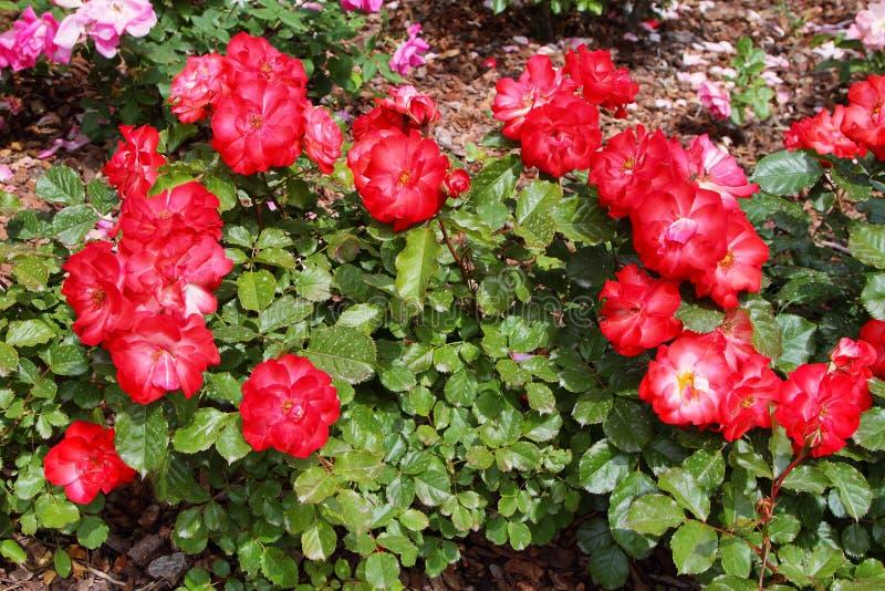 Detalle de rosas rojas salvajes fotografía de archivo libre de regalías