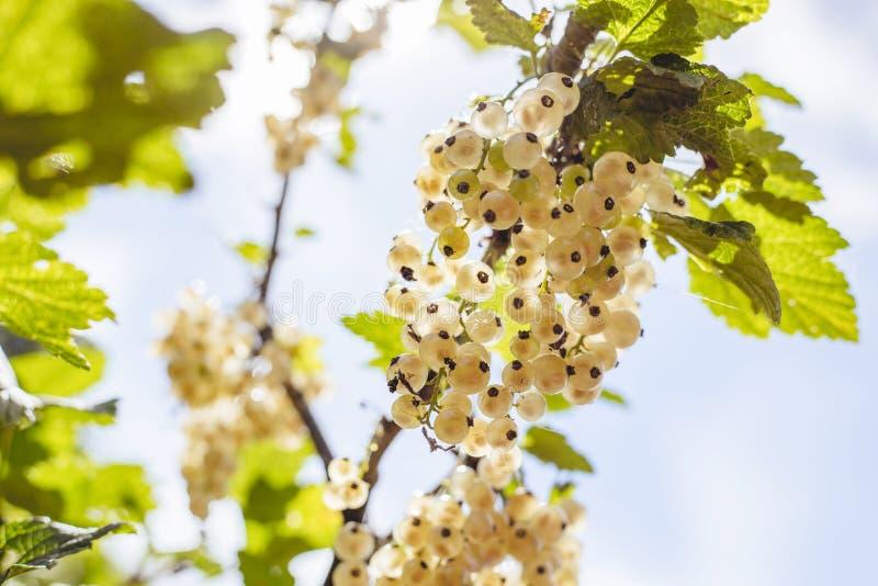 Detalle de un manojo de pasa blanca en una rama contra el cielo azul, durante verano foto de archivo