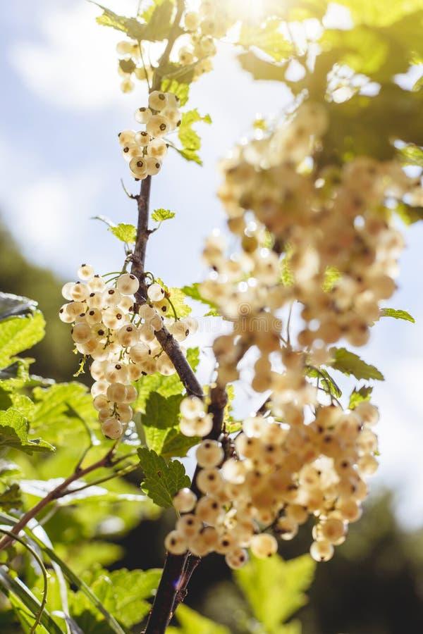 Detalle de un manojo de pasa blanca en una rama en luz del sol fotos de archivo libres de regalías