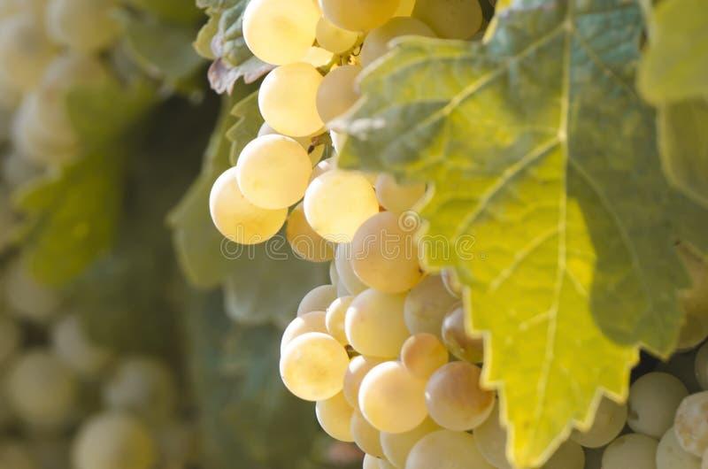 Detalle de un manojo de uvas en viñedo imagenes de archivo