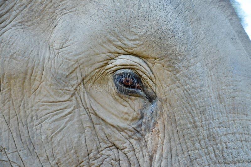 Detalle de un ojo del elefante imagen de archivo