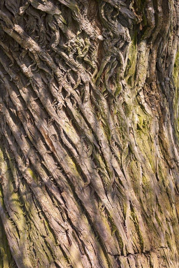 Detalle de un tronco de árbol con la corteza muy áspera foto de archivo