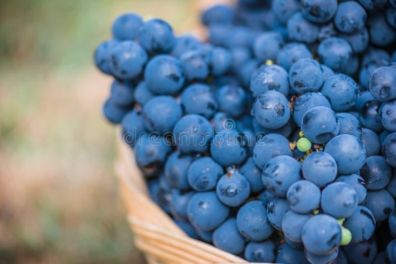 Detalle de una cesta con las uvas Cosecha de la uva azul Comida, Borgoña Otoño en el jardín foto de archivo