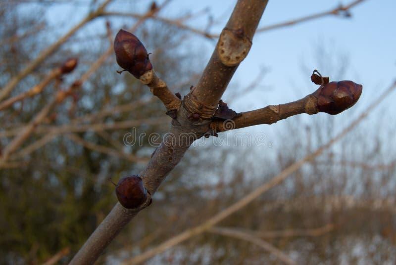 Detalle de una rama de árbol de castaña en invierno imagen de archivo libre de regalías