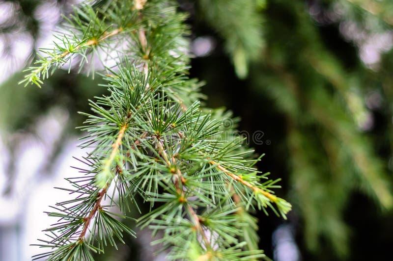 Detalle del árbol de pino con el fondo suave del foco foto de archivo libre de regalías