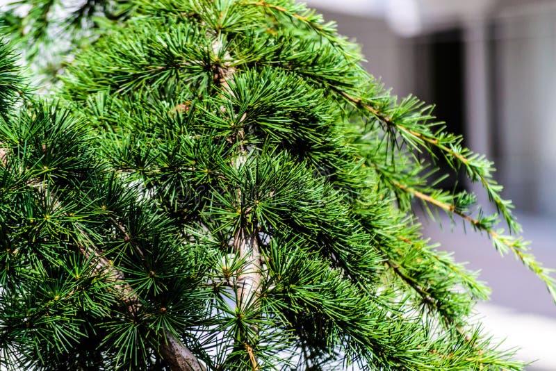 Detalle del árbol de pino con el fondo suave del foco imágenes de archivo libres de regalías