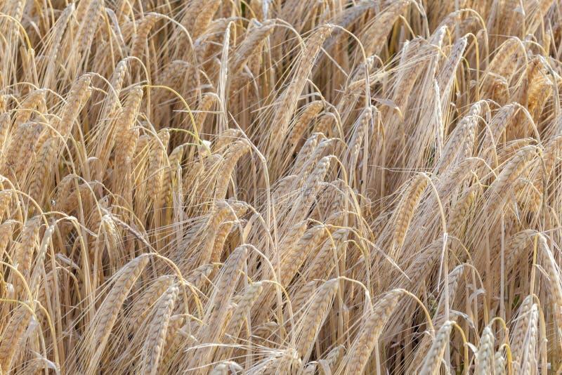 Detalle del campo de maíz antes de la cosecha imagenes de archivo