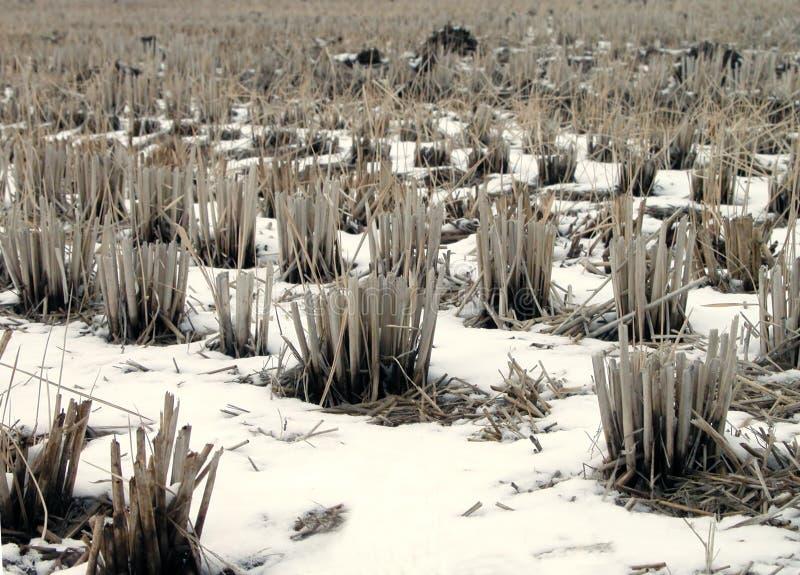 Detalle del campo del arroz del invierno fotografía de archivo libre de regalías