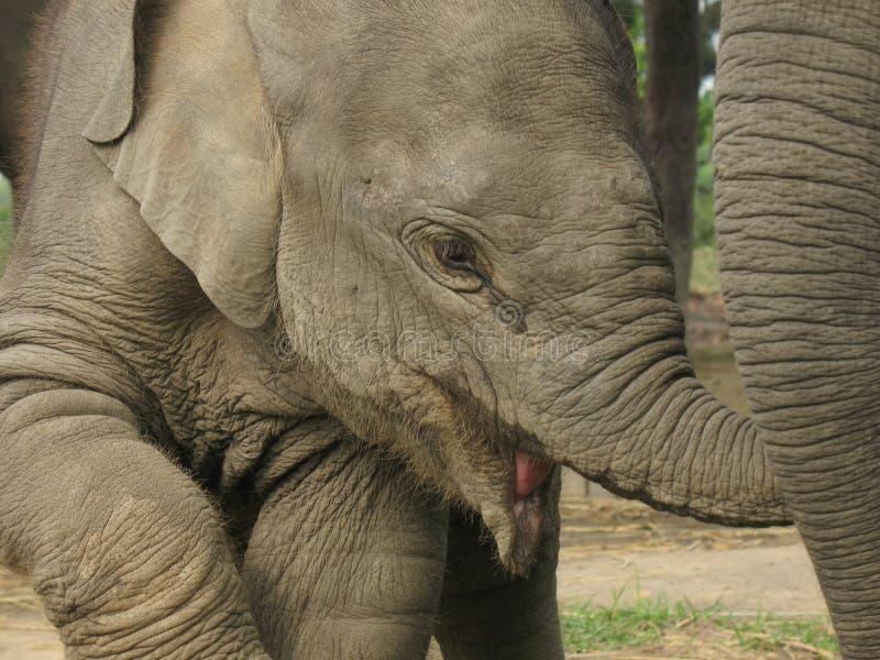 Detalle del elefante del bebé fotografía de archivo