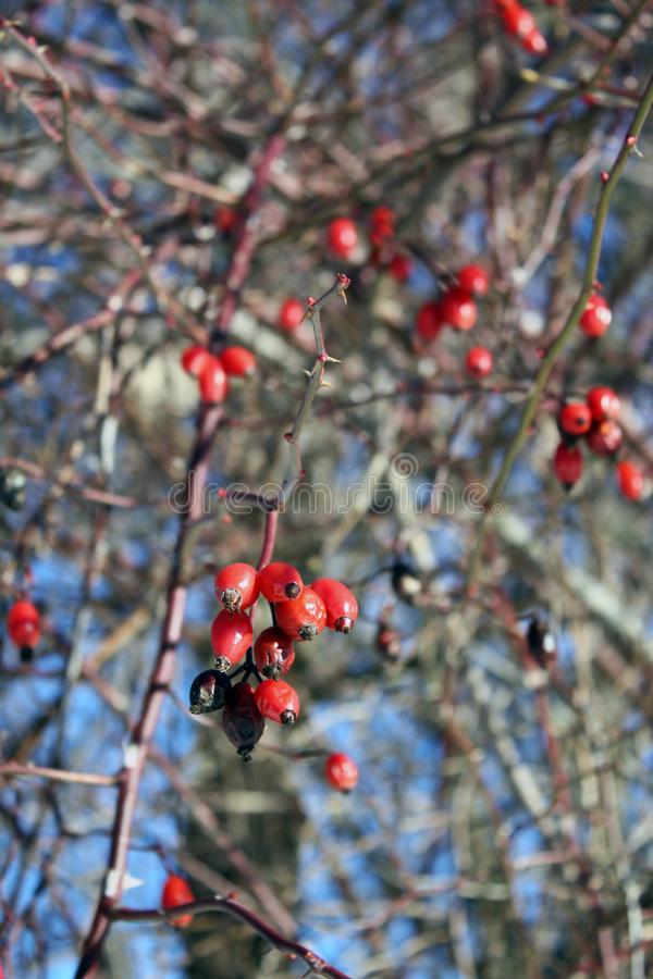 Detalle del escaramujo en ramas desnudas del invierno Colores rojos y azules foto de archivo