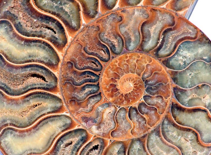 Detalle del fósil del nautilus imagen de archivo