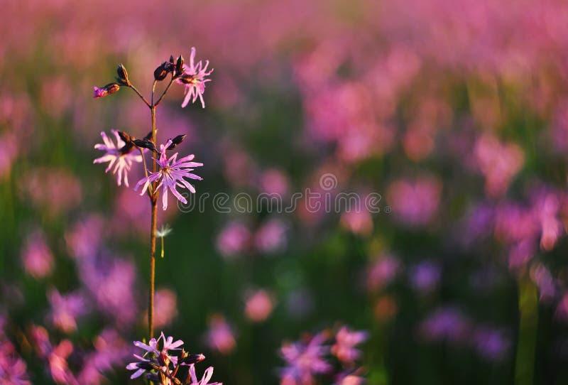 Detalle del flor del flos-cuculi de Lychnis foto de archivo