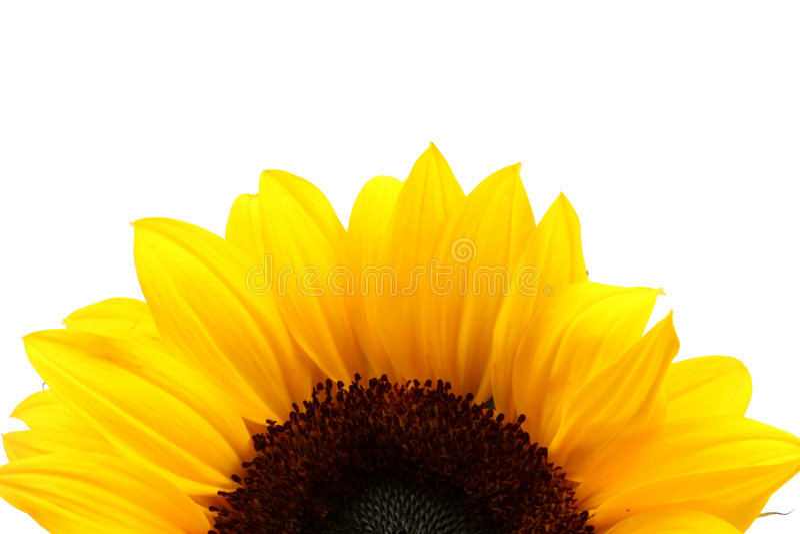 Detalle del girasol sobre blanco imagen de archivo libre de regalías