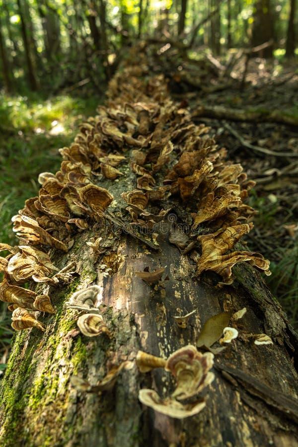 Detalle del hongo que crece a lo largo de tronco de árbol caido imágenes de archivo libres de regalías