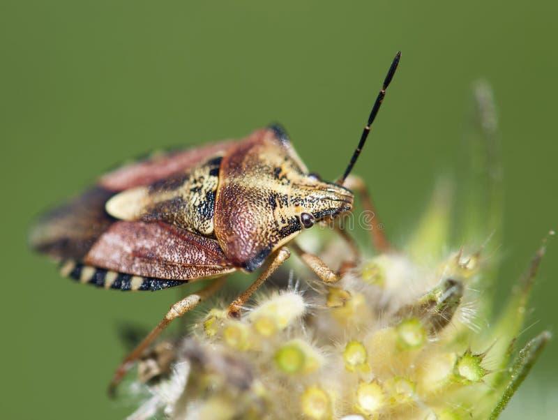 Insecto Crawly del endrino (baccarum de los dolycoris) foto de archivo