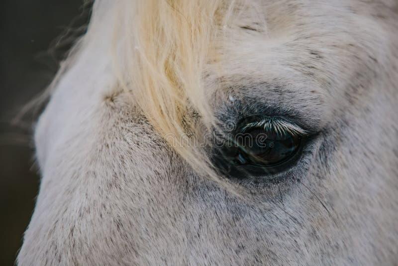 Detalle del ojo oscuro del caballo blanco, pestañas foto de archivo libre de regalías